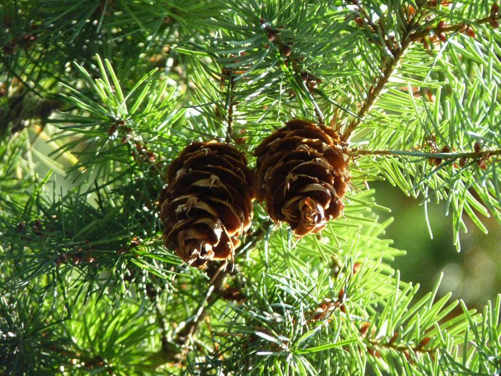 pine cones 471940 1280 kopie